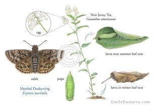 Mottled Duskywing life cycle illustration – Emily S. Damstra