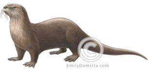 North American river otter – Emily S. Damstra