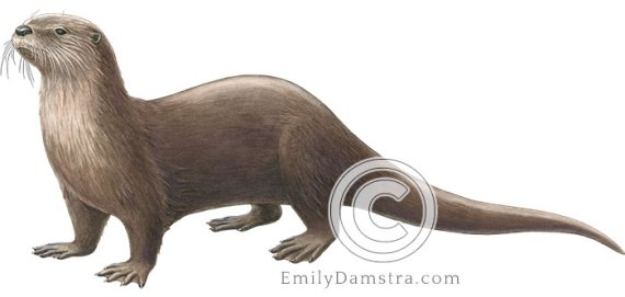 North American river otter illustration Lontra canadensis