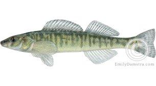 Logperch Percina caprodes illustration