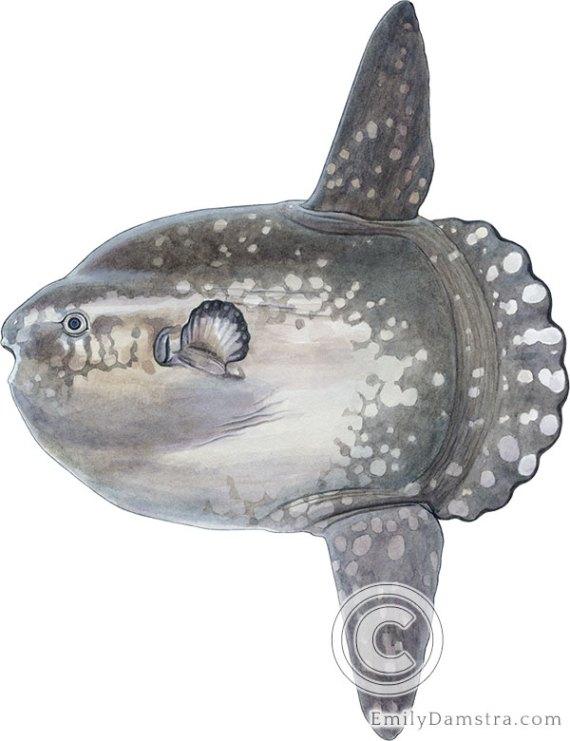 Ocean sunfish illustration Mola mola