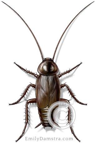 Oriental cockroach illustration Blatta orientalis