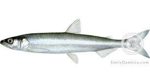 Rainbow smelt Osmerus mordax illustration