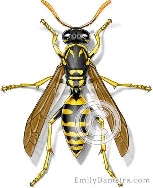 European paper wasp illustration Polistes dominula