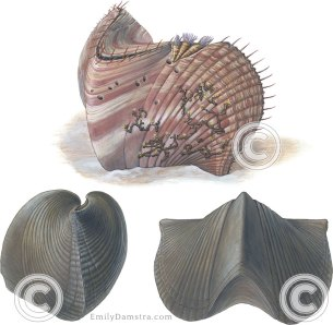 Devonian brachiopod illustration parasirifer