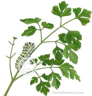 Illustration parsley with Black swallowtail caterpillar Petroselinum crispum Papilio polyxenes