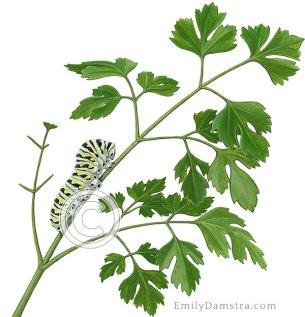 Illustration parsley with Black swallowtail caterpillar Petroselinum crispum Papilio polyxenes