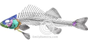 Perch skeleton – Emily S. Damstra