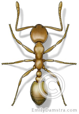 Pharaoh ant illustration Monomorium pharaonis
