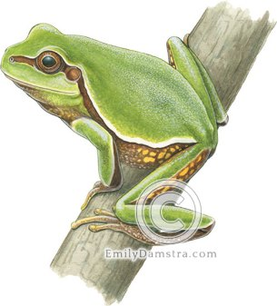 Pine barrens tree frog illustration Hyla andersonii