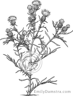 Pitcher's thistle – Emily S. Damstra