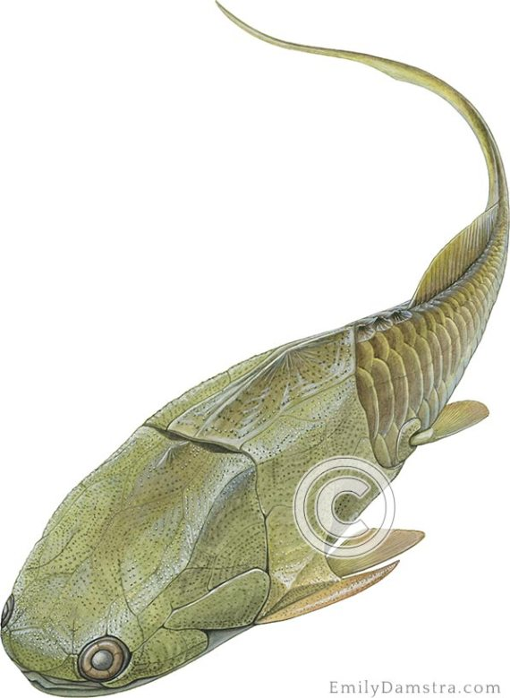 placoderm phylyctaenius illustration