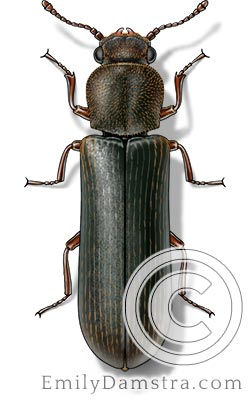 Powderpost beetle illustration pest