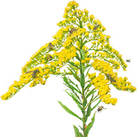 goldenrod flowers illustration