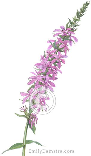 Purple loosestrife illustration Lythrum salicaria