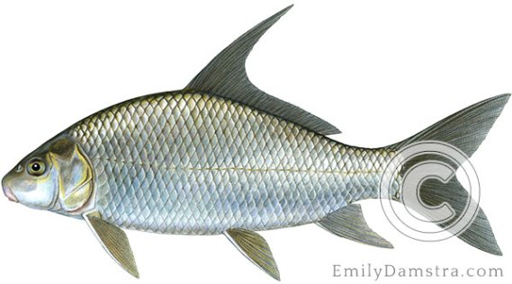 Quillback Carpiodes cyprinus illustration
