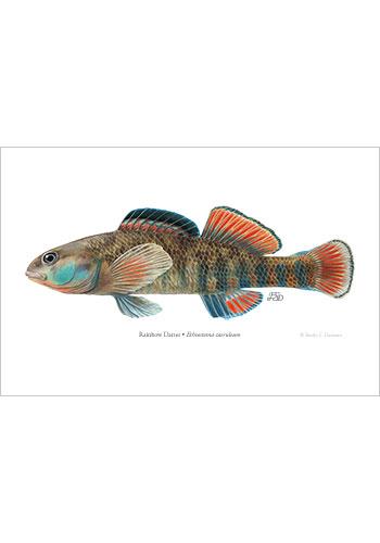 rainbow darter art print