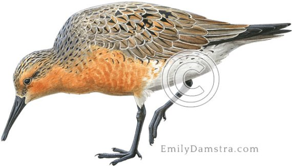Red knot Calidris canutus illustration
