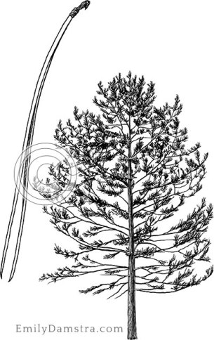 Red pine illustration Pinus resinosa