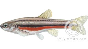 Northern Redbelly dace – Emily S. Damstra