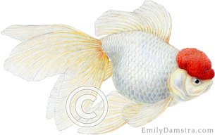Redcap Oranda goldfish illustration