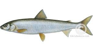 Round whitefish Prosopium cylindraceum illustration
