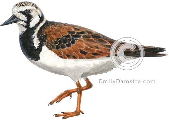 Ruddy turnstone breeding plumage illustration Arenaria interpres