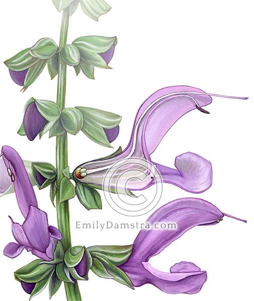 flower anatomy illustration Salvia nemorosa