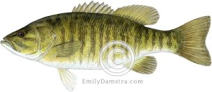 Smallmouth bass – Emily S. Damstra