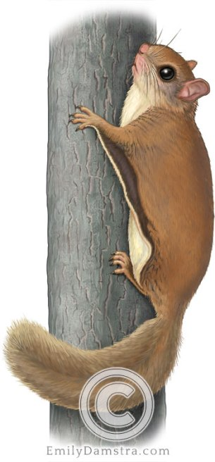 Southern flying squirrel – Emily S. Damstra