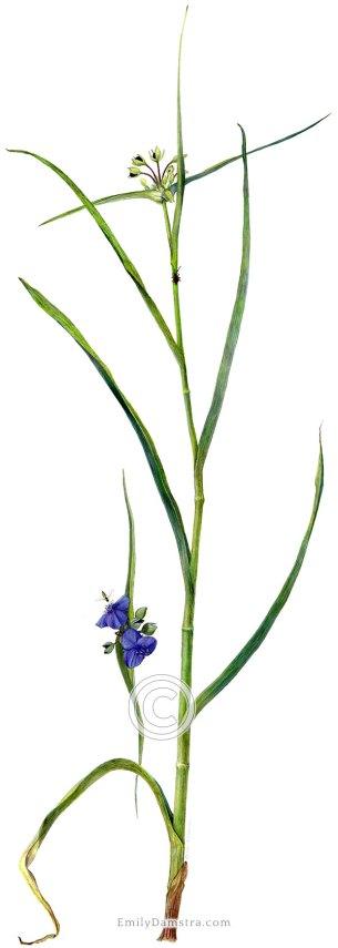 Ohio spiderwort illustration Tradescantia ohiensis