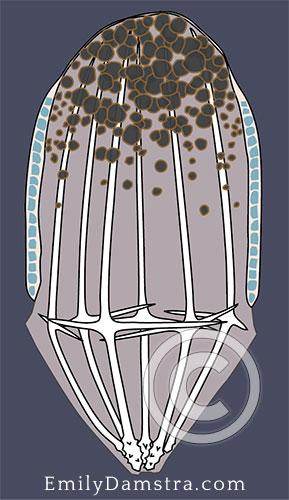 hexactinellid sponge larva illustration