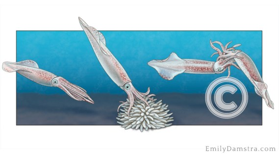 Longfin squid aggression illustration