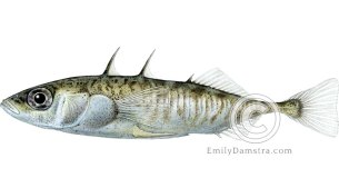 Three-spined stickleback illustration Gasterosteus aculeatus
