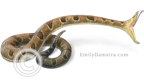 Timber rattlesnake striking illustration crotalus horridus