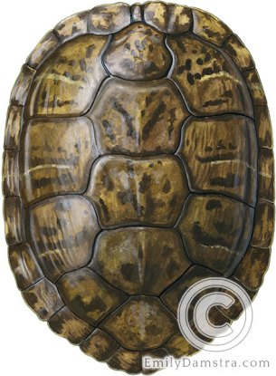 Red-eared slider carapace – Emily S. Damstra
