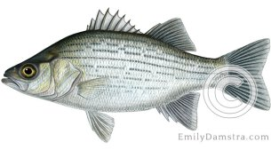 White bass Morone chrysops illustration