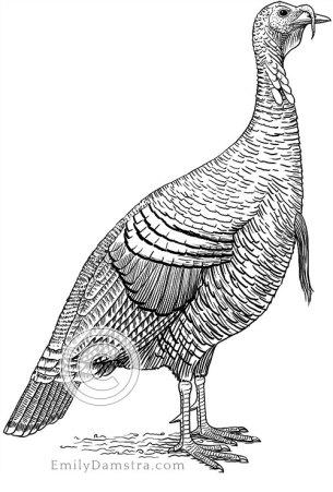 Wild turkey illustration Meleagris gallopavo