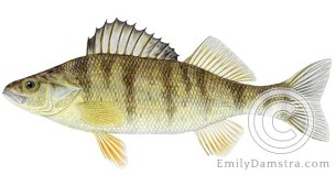 Yellow perch – Emily S. Damstra