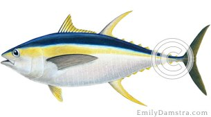 Yellowfin tuna – Emily S. Damstra