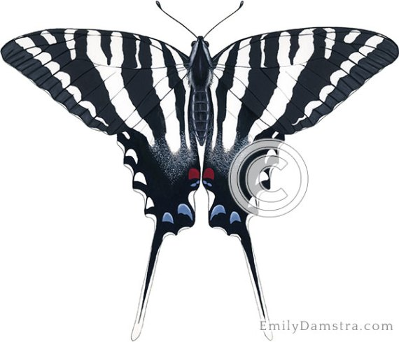 Zebra swallowtail illustration Eurytides marcellus