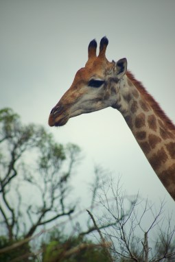 Giraffe, Hluehluwe, SA