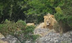 Lion, Lalibela, SA