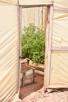 Tomatoes growing in a greenhouse build by an NGO.