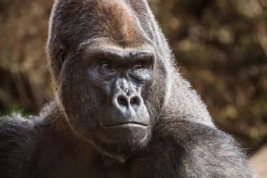 Feb20-Gorilla-5