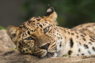 May26-Zoo-Leopard-11