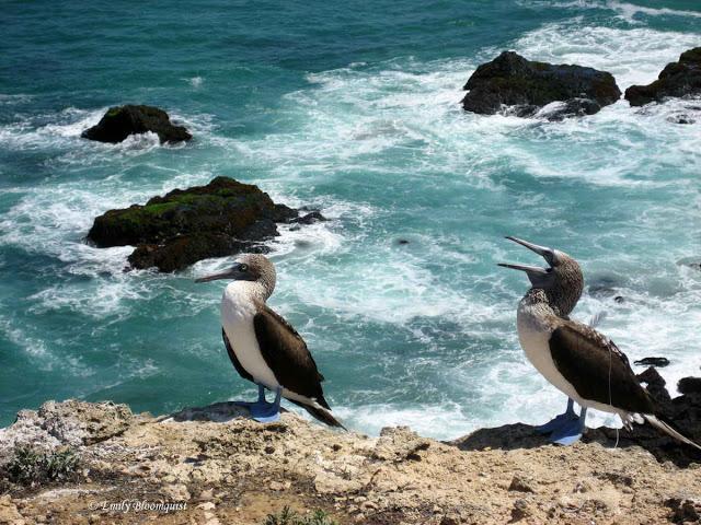 Adult blue footed boobies on Isla de la Plata