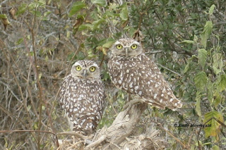 Burrowing owl adults