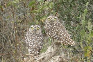 Burrowing owl adults