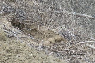 Burrowing owl guarding nest